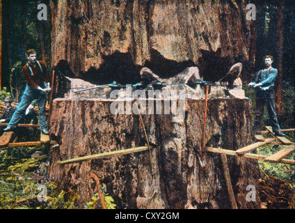 cutting down a giant california redwood tree in the late