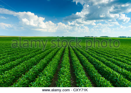 A green soybean field in central Iowa at its mid-season growth stage. - Stock Photo