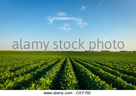 A green soybean field in central Iowa at its mid-season growth stage. Iowa, USA. - Stock Photo