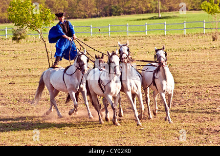 Hungary, Kalocsa, Csikos Hungarian horse rider, riding his team while standing - Stock Photo