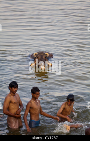 Young People sharing a Bath with Water Buffaloes in the holy river Ganges in Varanasi, India - Stock Photo