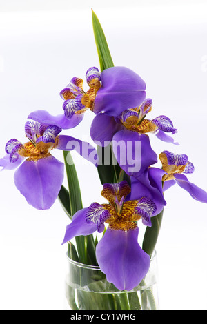 Close-up of blue iris in a vase on white background - Stock Photo