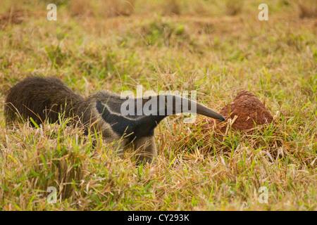Giant Anteater (Myrmecophaga tridactyla) - Stock Photo