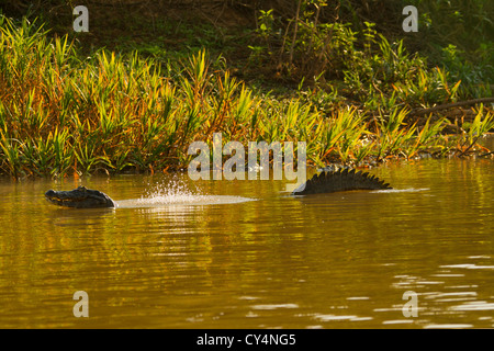 Spectacled Caiman (Caiman crocodilus) performing the 'bubble dance' - Stockfoto