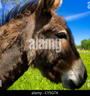 Donkey head, closeup - Stock Photo