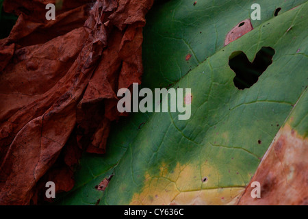 Withering rhubarb leaves (Rheum rhabarbarum) in autumn. - Stock Photo