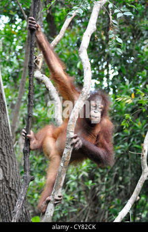 Young Orangutan Orang utan Pongo pygmaeus at Sepilok Rehabilitation Centre Borneo Malaysia climbing tree - Stock Photo