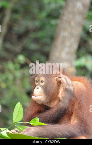 Young Orangutan Orang utan Pongo pygmaeus at Sepilok Rehabilitation Centre Borneo Malaysia - Stock Photo