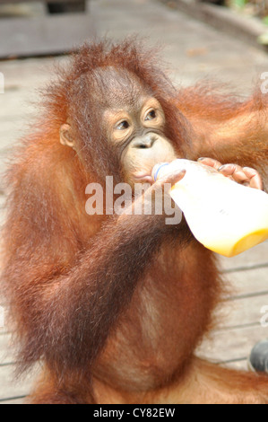 Young Orangutan Orang utan Pongo pygmaeus at Sepilok Rehabilitation Centre Borneo Malaysia Bottle feeding - Stock Photo