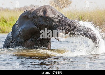 Close-up of an African elephant (Loxodonta africana) playing in the water channels of the Okavango delta - Stock Photo