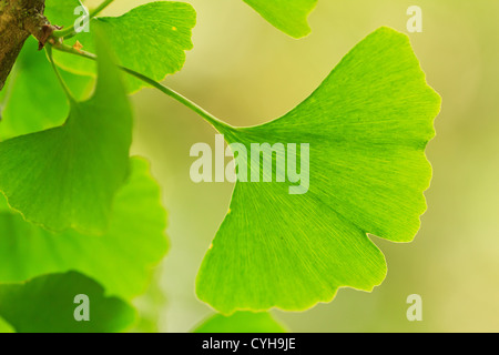ginkgo biloba care instructions