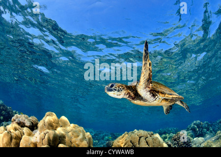Swim With Turtles Cook Island