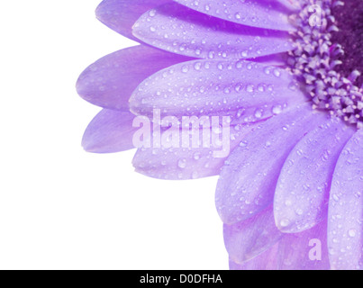 Close up shot of water drops on a Gerbera daisy - Stock Photo