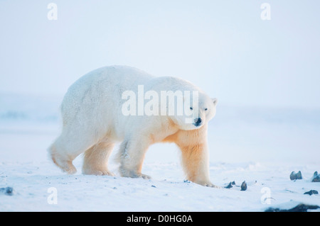 polar bear Ursus maritimus large boar walks along coast during fall freeze up 1002 area Arctic National Wildlife - Stock Photo