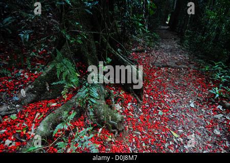 Fallen flowers of flame kurrajong (Brachychiton acerifolius) around base of tree, Border Track, Lamington National - Stock Photo