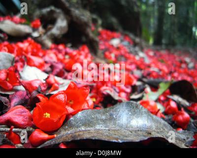 Fallen flame tree flowers on rainforest floor, Binna Burra, Lamington National Park, Queensland, Australia  - Stock Photo