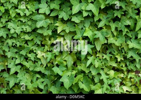 Ivy on a brick wall - Stock Photo