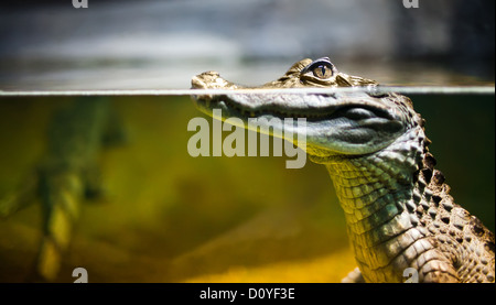 Caiman crocodilus - Stock Photo