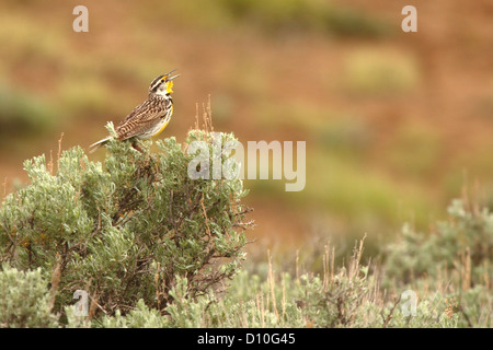 Western Meadowlark singing from the sage. - Stock Photo