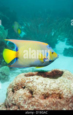 Angelfish swimming at underwater reef - Stock Photo