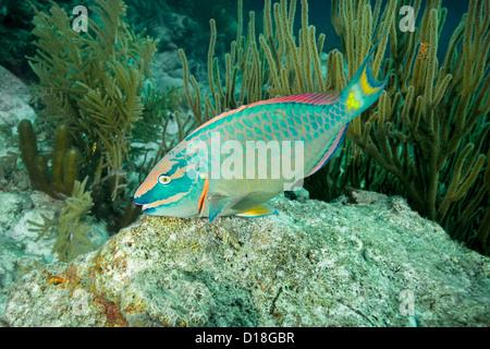 Parrotfish swimming at underwater reef - Stock Photo