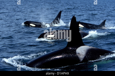 Pod of Transient Killer Whales; 2 males, and 2 females on this photograph. Photo taken in Monterey Bay, California, - Stock Photo