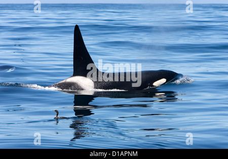 Killer whales, transient type; adult male.Orcinus orca.Photographed in Monterey Bay, Pacific Ocean, California, - Stock Photo