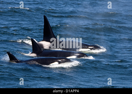 Killer whales, Transient type.Orcinus orca. Monterey Bay, California, USA, Pacific Ocean - Stock Photo