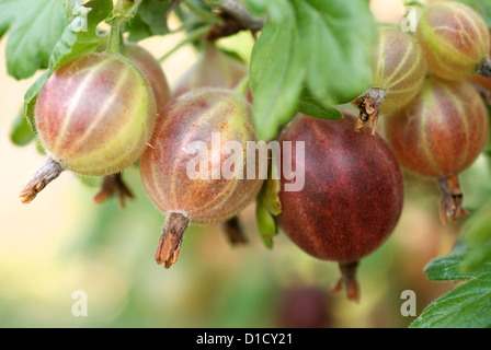 Buy Gooseberry Bush
