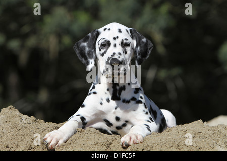 Dalmatian Canis Lupus F Familiaris Puppies Lying On A