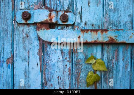 Ivy (Hedera sp) growing on old barn door, Scotland, United Kingdom, Europe - Stock Photo