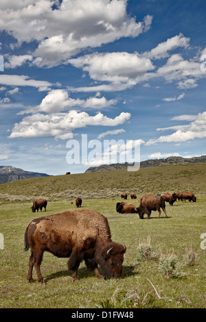 Bison (Bison bison) cows grazing, Yellowstone National Park, Wyoming, United States of America, North America - Stock Photo