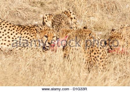 Cheetah (Acynonix jubatus), Kalahari plains, Namibia, Africa - Stockfoto