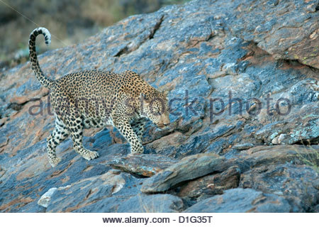 Leopard (Panthera paradus) walking across a rocky kopje, Namibia, Africa - Stock Photo