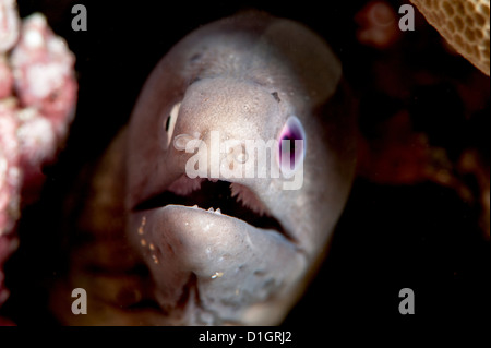 White eyed moray eel (Siderea thysoidea) blind in one eye, Sulawesi, Indonesia, Southeast Asia, Asia - Stock Photo