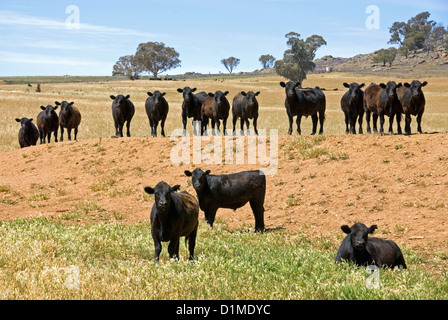 Black Angus cattle standing around the sides of a dam, on a farm, in South-Western New South Wales, Australia - Stock Photo