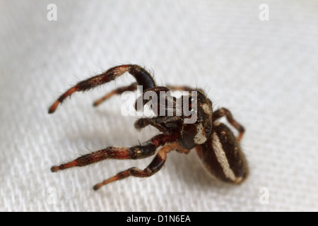 Jumping spider (Eris militaris) - Stock Photo