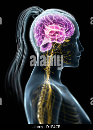 Female central nervous system, artwork - Stock Photo