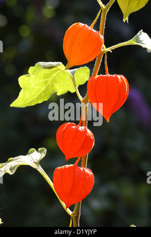 physalis alkekengi franchetii fruit in decaying papery husk on slate stock photo royalty free. Black Bedroom Furniture Sets. Home Design Ideas