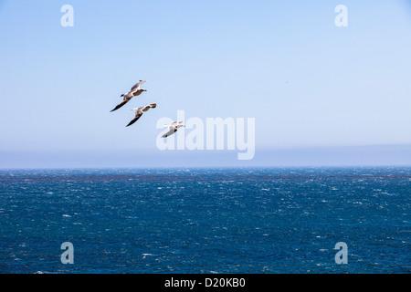 Seagulls above Pacific Ocean, Big Sur coast, California, USA, America - Stock Photo