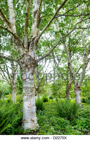 Grove of Betula utilis var. jaquemontii 'Jermyns' (Himalayan birch) at Sir Harold Hillier Arboretum, Hampshire, - Stockfoto