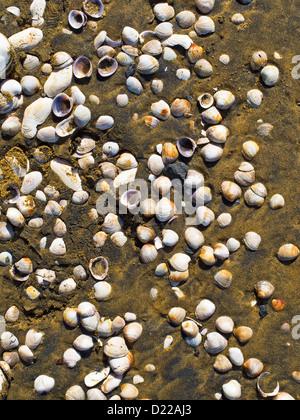 Shells on the sandy beach at Te Arai Point, Mangawhai, Northland, North Island, New Zealand. - Stock Photo