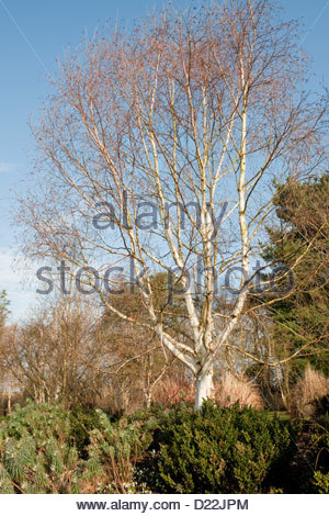 Betula utilis var jacquemontii 'Jermyns' (Himalayan birch) at Sir Harold Hillier Arboretum, Hampshire, England - Stockfoto