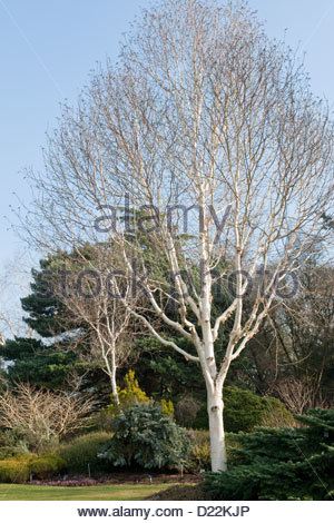 Betula utilis var. jacquemontii 'Grayswood Ghost' (Himalayan birch) at Sir Harold Hillier Arboretum, Hampshire, - Stockfoto