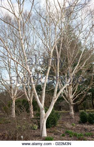 Betula utilis var. jacquemontii 'Jermyns' (Himalayan birch) at Sir Harold Hillier Arboretum, Hampshire, England - Stockfoto