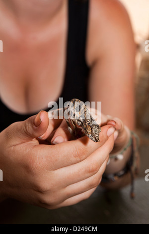 Madagascar, Operation Wallacea, , student with Chameleon Furcifer Angeli on hands - Stock Photo