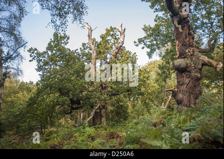 Common Oak Quercus robur ancient 'stag-headed' trees with hollow trunks branches growing in deciduous woodland habitat - Stock Photo