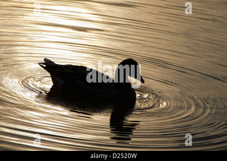 black silhouette of a duck at sunset on a lake with ripples - Stock Photo