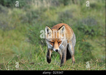 Red fox (Vulpes vulpes) stalking prey in meadow by following scent trail near forest edge - Stockfoto