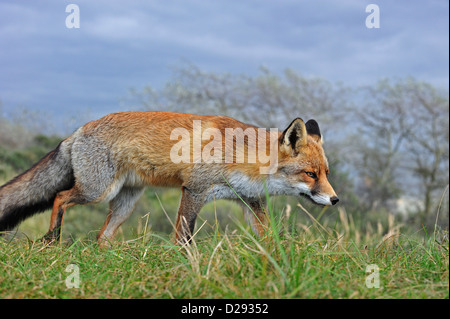 Red fox (Vulpes vulpes) stalking prey by following scent trail in grassland - Stockfoto